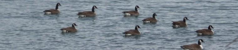 cropped-geese-on-lake.jpg