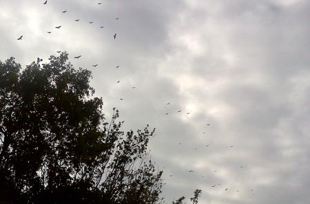 BPK vultures
