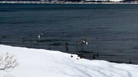 swans & mallards